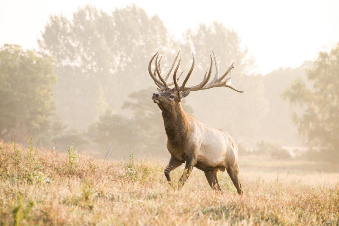 Bull Elk at Quiet Harmony Ranch