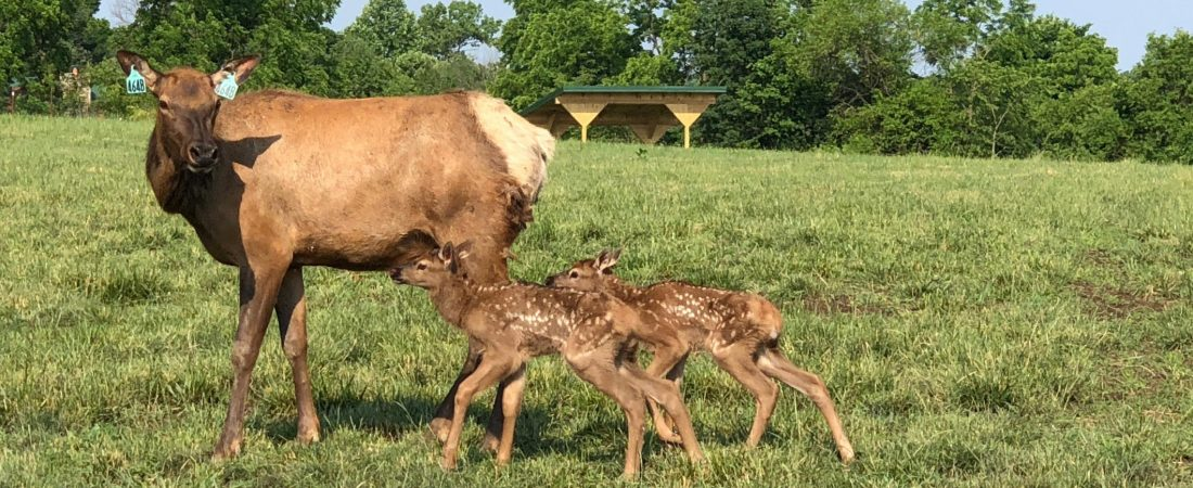 Elk cow with calves at Quiet Harmony Ranch