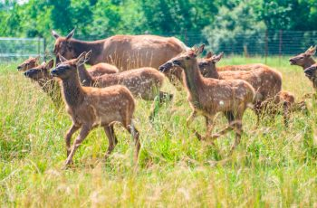 Elk with fawns at Quiet Harmony Ranch
