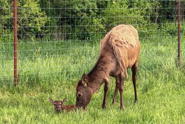 elk-baby