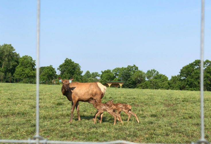 Cow Elk with two calves