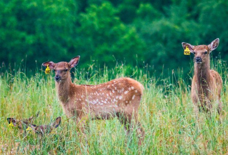 Elk calves at Quiet Harmony Ranch